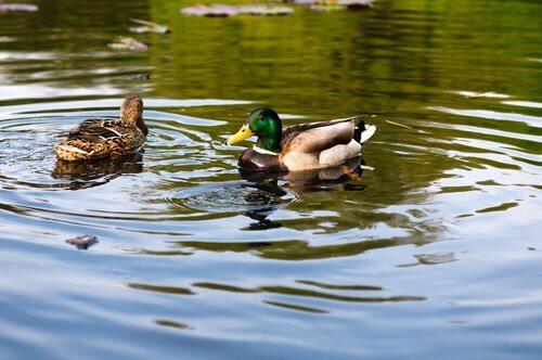 Patos na lagoa