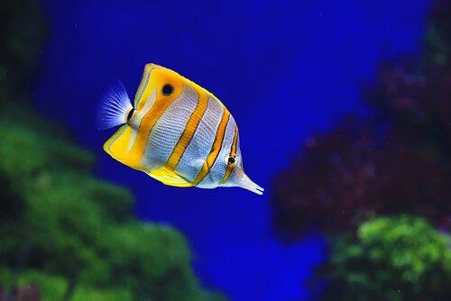 Peixe borboleta-bicuda