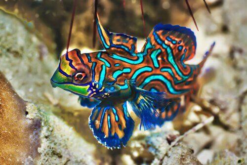 Peixe-mandarim