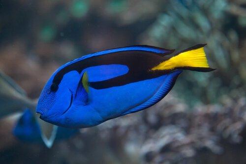 Peixe cirurgião-azul-claro