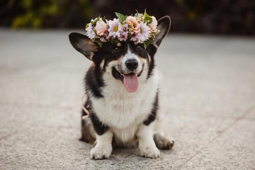 Quais são as vantagens e desvantagens dos perfumes para cães?