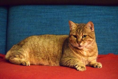 Pixie bob: um gato semelhante ao lince-vermelho