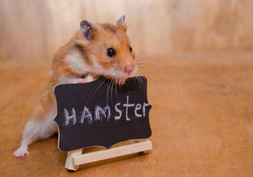 Como domesticar um hamster?