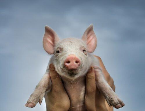filhote de porco, um leitão