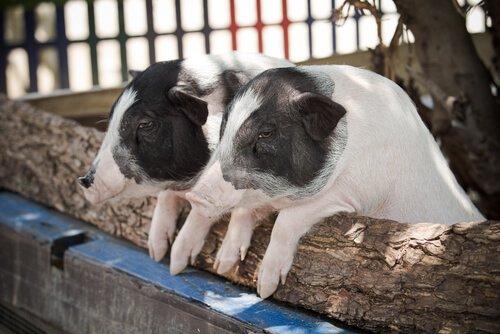 Porcos pigmeus