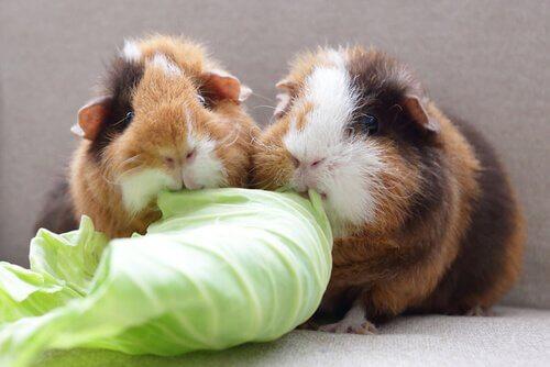 Porquinhos-da-índia comendo alface