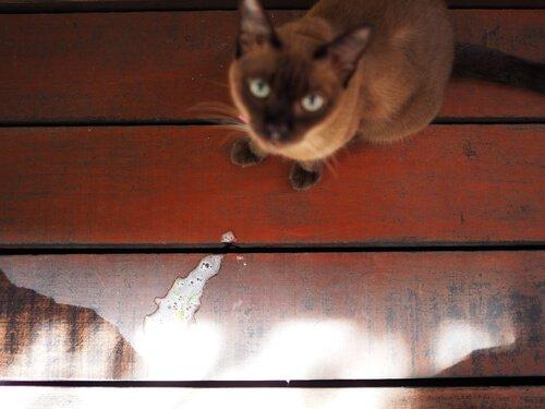 Como prevenir o vômito em gatos