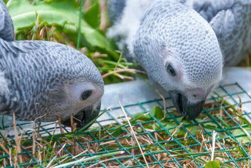 Exemplares de papagaio-cinzento