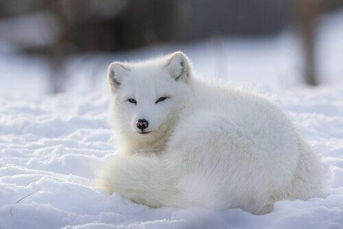 Raposa do ártico: um animal social e territorial