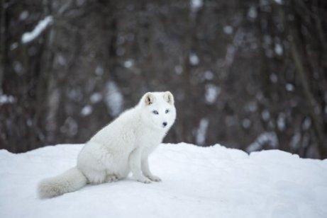 Comportamento da raposa do ártico