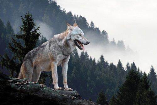 Lobo de yellowstone