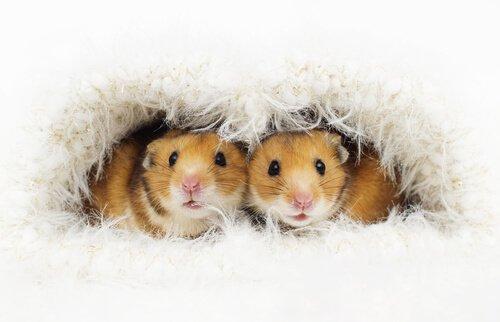 Reprodução do seu hamster: dicas importantes!