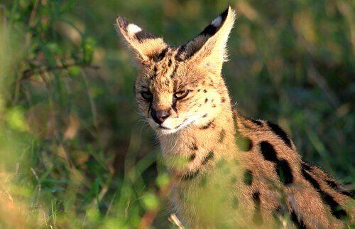 Conheça o serval, um gato selvagem