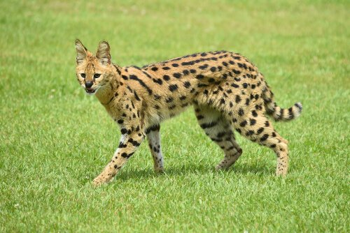 O serval, um predador oportunista