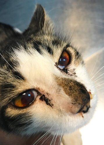 Seu gato está sangrando pelo nariz? Saiba o que fazer!