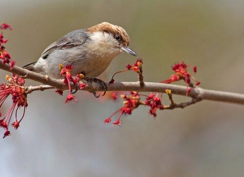 Sitta pusilla, um pássaro muito interessante