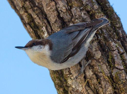 Sitta pusilla: ave extinta reaparece nas Bahamas