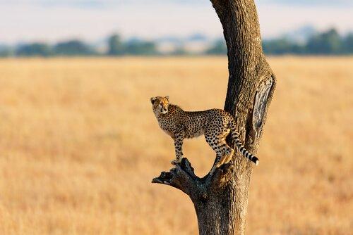 Chita em árvore