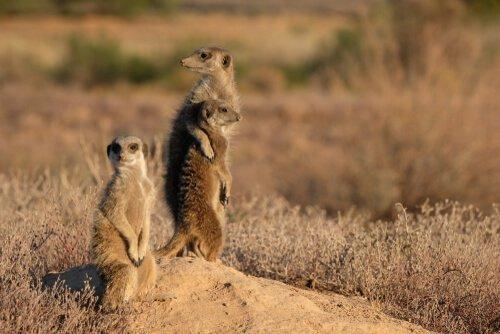 Você sabia que os suricatos preferem os mais experientes como vigilantes?