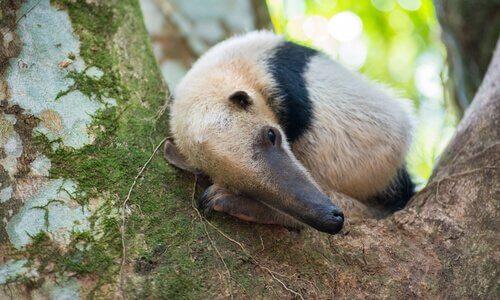 filhote de tamanduá