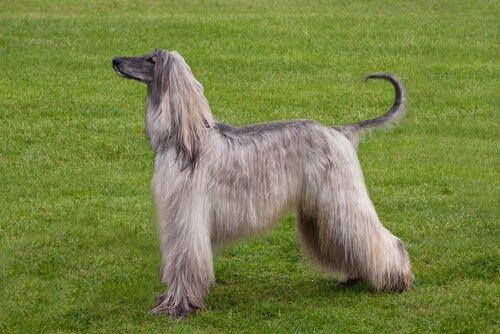 Tasi ou cão afegão: conheça essa raça de pelos longos