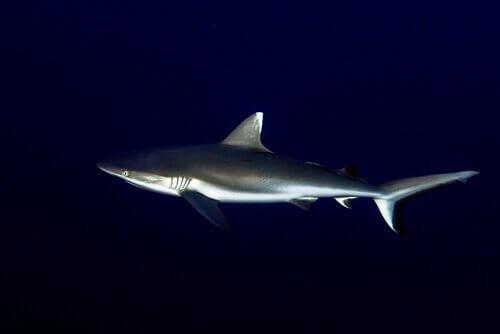 Tubarão cinzento dos recifes: taxonomia e características físicas
