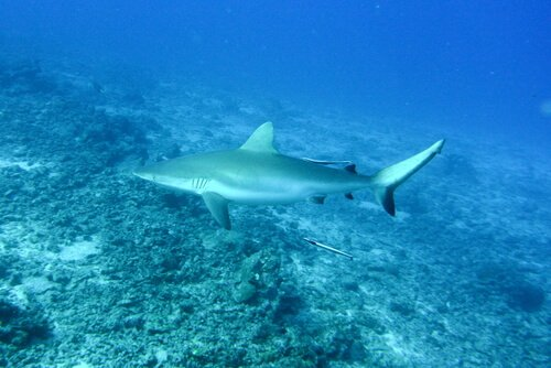 Características do tubarão cinzento dos recifes