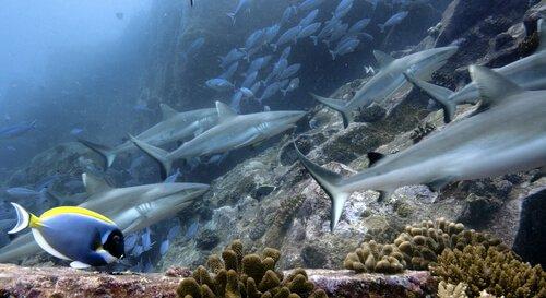 Comportamento dos tubarões cinzentos dos recifes