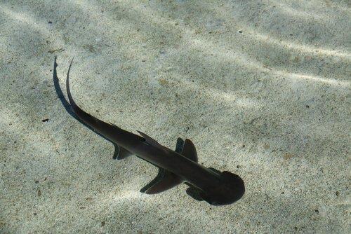 tubarão-de-pala em águas cristalinas