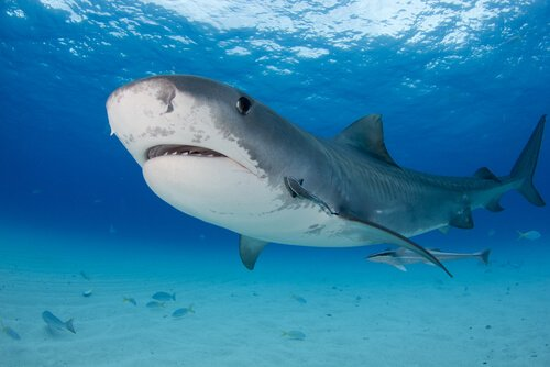 Características do tubarão-tigre