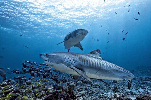 Tubarão-tigre: características e alimentação