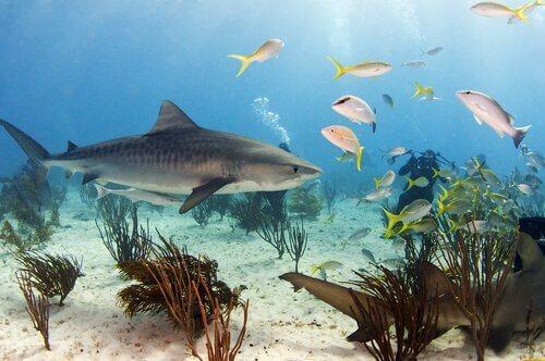 Alimentação do tubarão-tigre