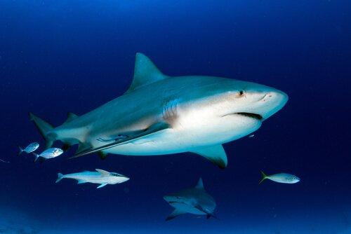 Tubarão-touro em seu habitat
