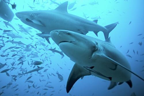 Tubarão-touro: habitat e características