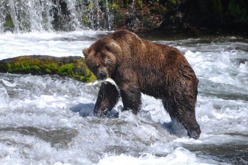 Urso pardo capturando salmão