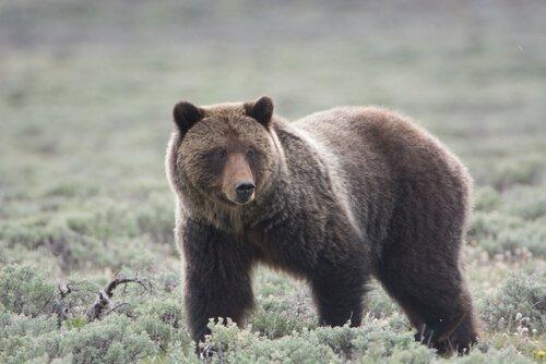 O urso pardo, um dos animais ameaçados de extinção em Yellowstone
