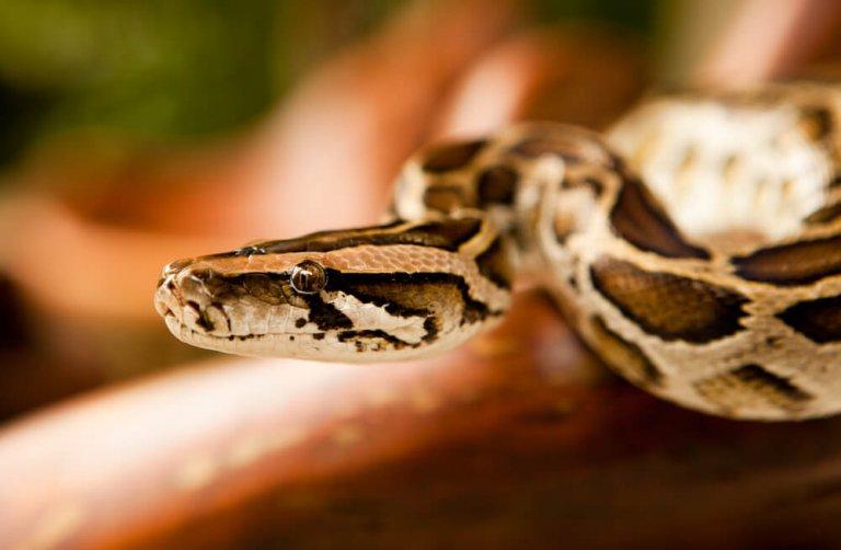 Cobras como animais de estimação: uma boa ideia?