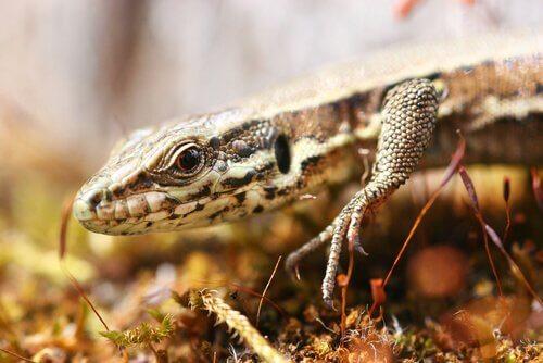 A lagartixa: características e curiosidades