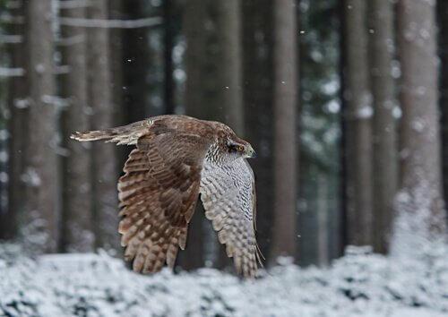 Açor voando em floresta gelada
