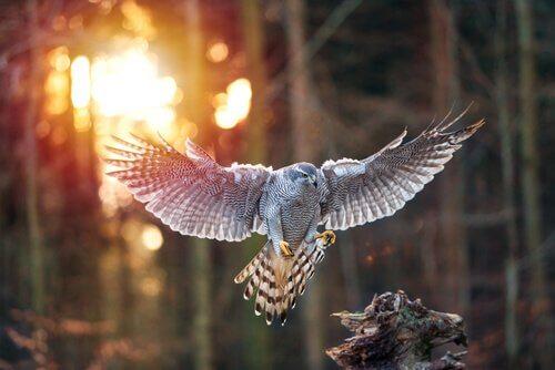 Açor voando