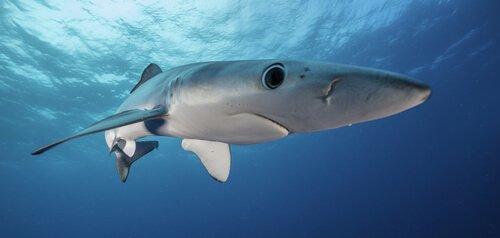 Descrição e características do tubarão-azul