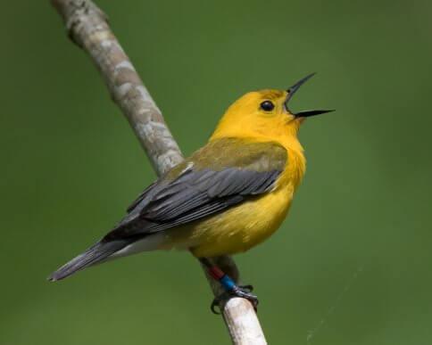 6 tipos de aves canoras: os cantos mais bonitos!