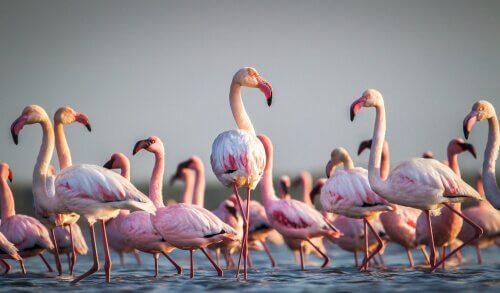 Curiosidades sobre os flamingos