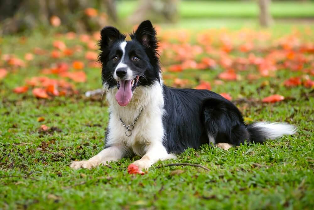 Border Collie no campo
