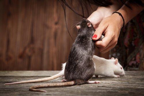 Como ensinar truques a um rato de estimação?