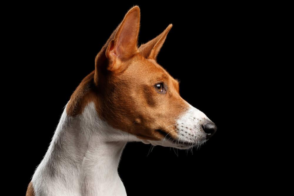 Cachorro da raça Basenji