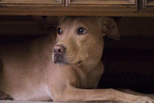 Cachorro com medo escondido