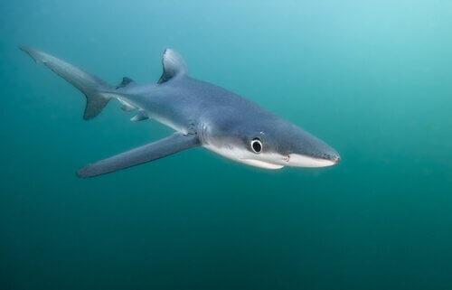 Tubarão-azul: habitat e características
