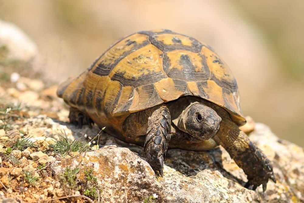 Características da tartaruga-grega