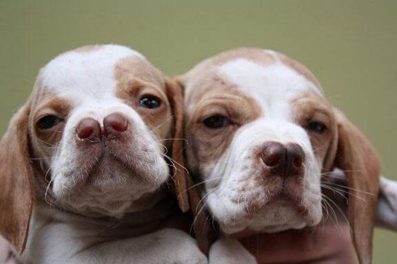 Catalburun: tudo sobre esta raça turca de cães